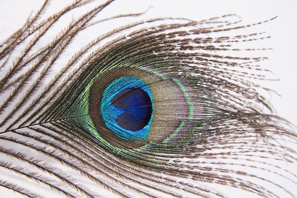 Motif pada bulu merak sangatlah cantik, sehingga bulu merak yang rontok banyak dimanfaatkan untuk kerajinan. | Image 4