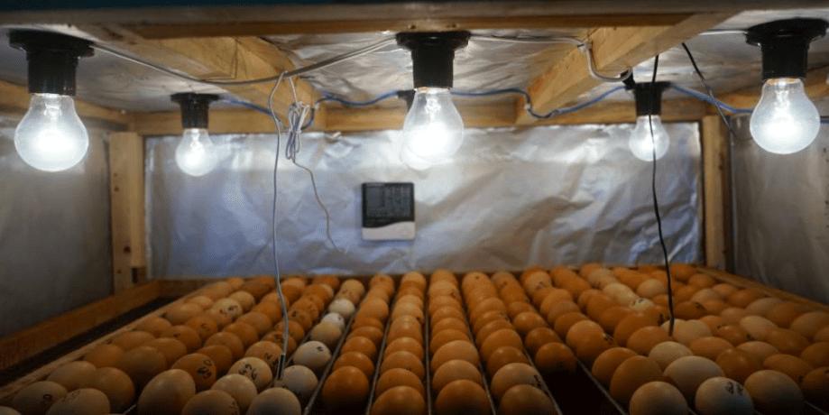 Contoh penetasan telur menggunakan mesin penetas telur | Image 1
