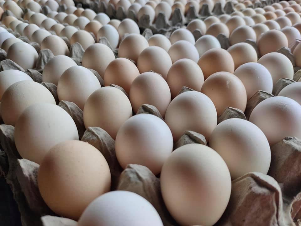Ayam KUB atau Ayam Kampung Unggulan ini mampu menghasilkan telur dengan jumlah 2x lipat dari jenis ayam kampung biasa | image 4
