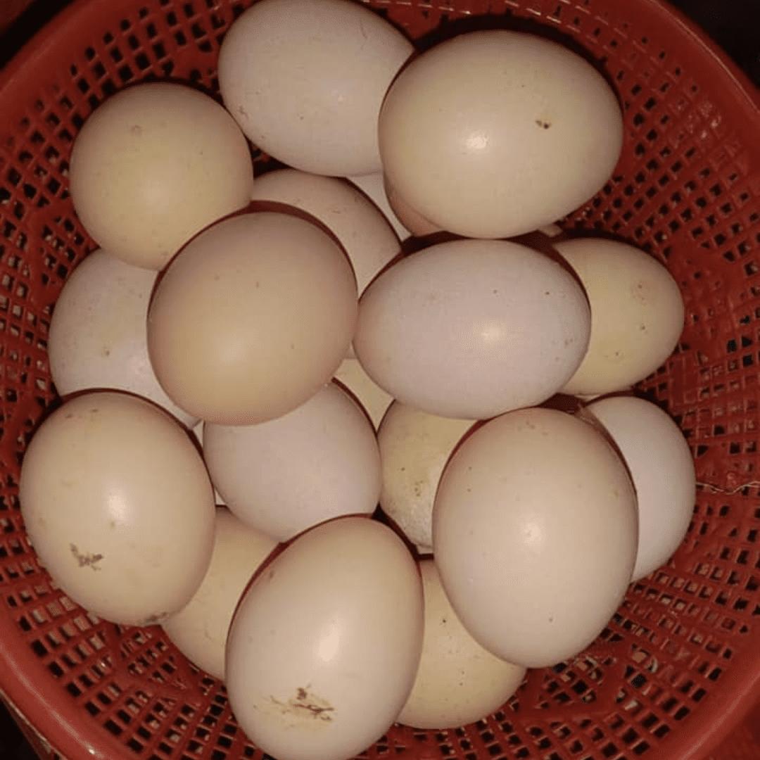 Ayam KUB atau Ayam Kampung Unggulan ini mampu menghasilkan telur dengan jumlah 2x lipat dari jenis ayam kampung biasa | image 1