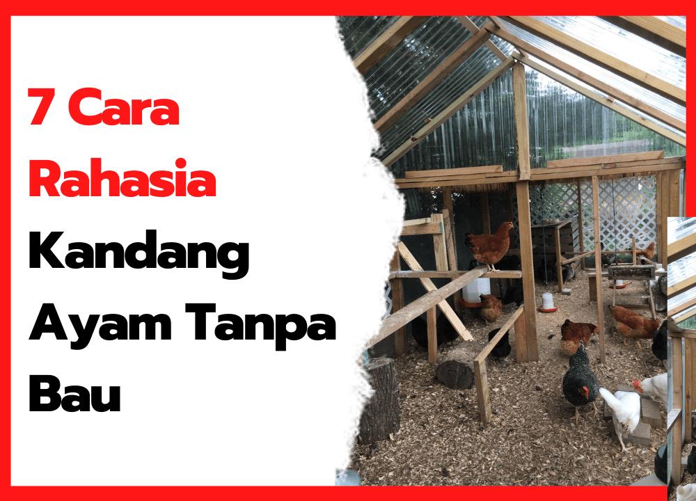 7 Cara Rahasia Kandang Ayam Tanpa Bau   thumbnail