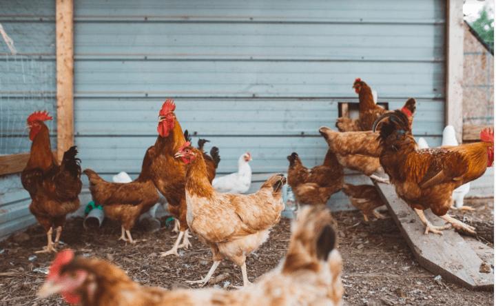 Melakukan usaha ternak ayam tidak boleh sembarangan, ilmu yang memadai sangat penting untuk kesuksesan usaha ternak   Image 1