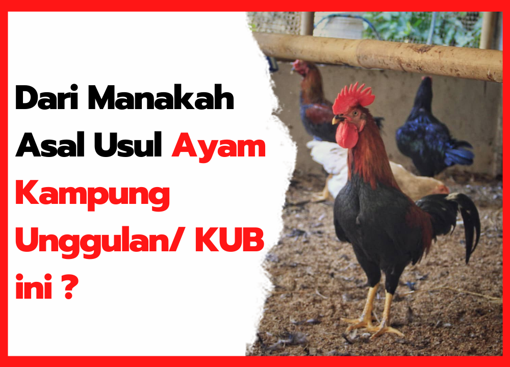 Dari mana Asal Usul Ayam KUB ?