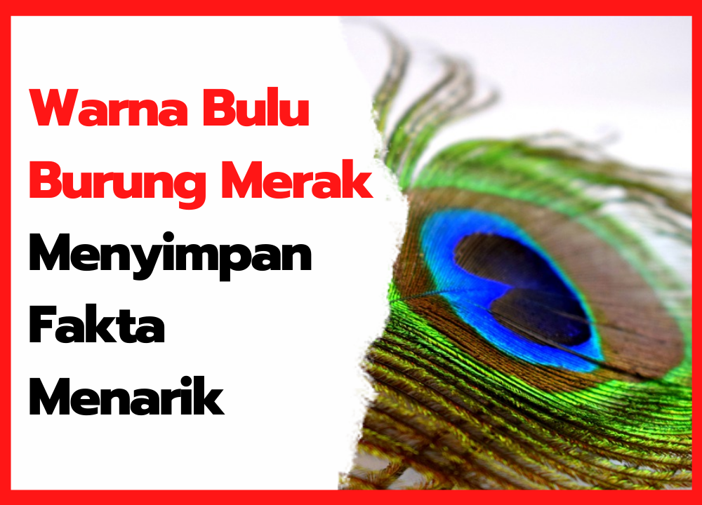 Warna Bulu Burung Merak Menyimpan Fakta Menarik   thumbnail
