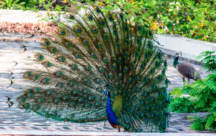 Burung merak yang terlihat sedang menarik perhatian merak betina dengan memekarkan ekornya l Image 4