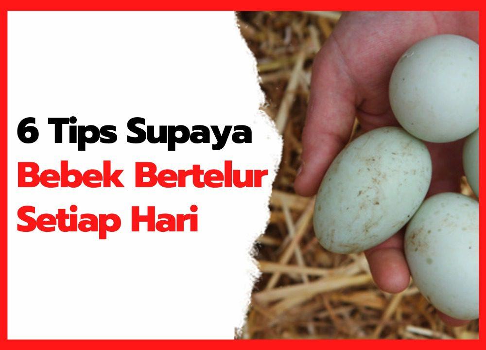 6 Tips Ternak Bebek Petelur Supaya Bertelur Setiap Hari cover