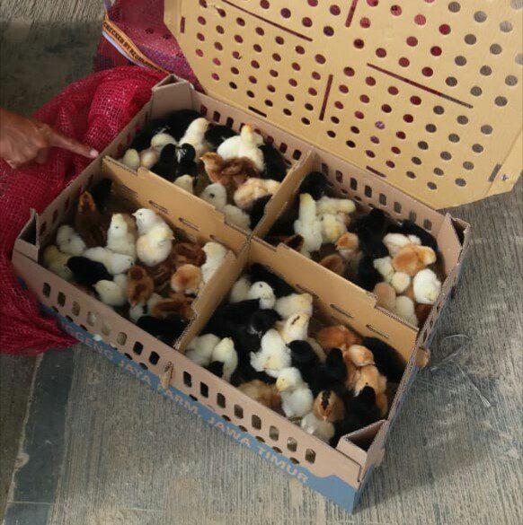 Terkadang yang menjadi kendala peternak joper adalah penyedia bibit. Namun jangan khawatir, hobiternak.com menyediakan doc joper dan siap mengirimkan ke seluruh wilayah Indonesia. | Image 1