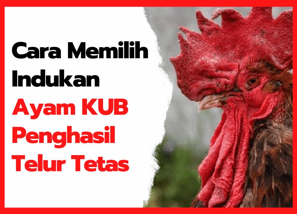 Cara Memilih Indukan Ayam KUB Penghasil Telur Tetas   cover