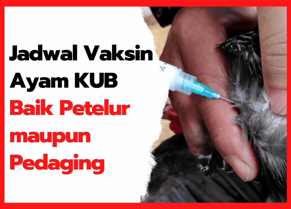 Jadwal Vaksin Ayam KUB Baik Petelur maupun Pedaging