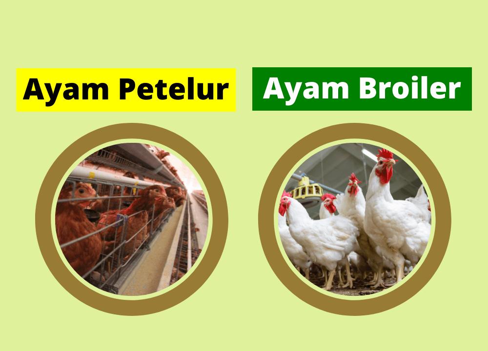 Dalam beternak tentu akan ada risiko-risiko yang harus dilalui, sama seperti ternak ayam petelur maupun ayam pedaging keduanya memiliki risiko sendiri-sendiri | Image 4
